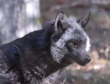 Silver Fox at Pocatello Zoo _DSC1105.jpg