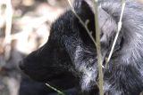 Silver Fox at Pocatello Zoo _DSC1137.jpg