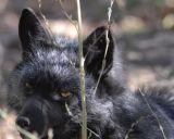 Silver Fox at Pocatello Zoo _DSC1205.jpg