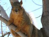 College Market Fox Squirrel Pocatello P1000612.JPG