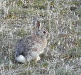 Massacre Rocks Bunny smallfile P1000981.jpg