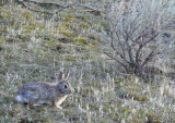 Massacre Rocks Bunny smallfile P1000994.jpg