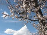 apricot blossoms 8th avenue IMG_2708.JPG