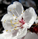 apricot blossom 8th avenue IMG_2709.JPG