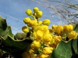 Oregon Grape - Pocatello area wild flowers IMG_3105.jpg