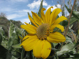 Arrowleaf Balsamroot smallfile IMG_3255.jpg