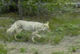 Running Coyote Yellowstone National Park smallfile _DSC0196.jpg