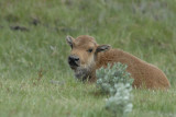 Baby Bison Yellowstone with Sage Brush smallfile _DSC0706.jpg