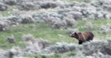Grizzly Running at Yellowstone National Park smallfile _DSC0387.jpg