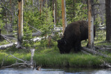 Bison by Firehole River Yellowstone _DSC0319.jpg