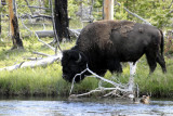 Bison by Firehole River Yellowstone _DSC0338.jpg