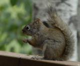 Red Squirrel Baby smallfile _DSC0078.jpg