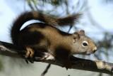 red squirrel smallfile _DSC0402.jpg