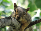 Aspen the Fox Squirrel on an Aspen smallfile IMG_0356.jpg