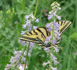 Tiger Swallowtail Butterfly smallfile IMG_0389.JPG