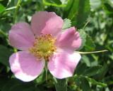 wild rose IMG_0308.jpg