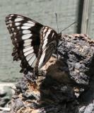 Schmetterling IMG_0416.jpg
