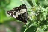 Schwarzweisser Schmetterling IMG_0434.jpg