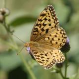 Schmetterling _DSC0757.jpg