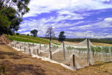 Vineyard with Nets