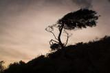 Windsweep Tree