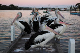 Pelicans on the Jetty ~