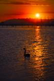 Black swan in sunset