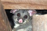 Possum up close ~*