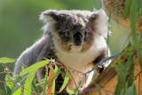 Koala ~