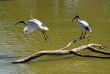 White Ibis takes off