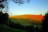 Vineyard in Autumn sun ~