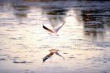 Seagull in the golden light ~