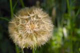 Golden Dandelion ~