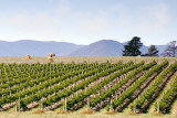 Hay bales and vineyard