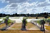 Vines under nets