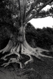 100 year old roots ~