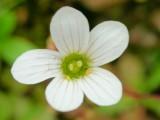 Quaresma (Saxifraga granulata) /|\ Meadow saxifrage