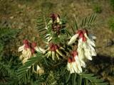 Alfavaca-silvestre (Erophaca baetica) /|\ Iberian milk-vetch