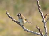 Pintassilgo (Carduelis carduelis) / \ Goldfinch