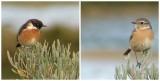 Cartaxo // European Stonechat (Saxicola rubicola subsp. rubicola), male and female