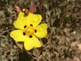 Sargaça-das-areias (Halimium halimifolium)