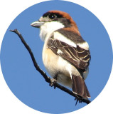 Picanço-barreteiro / \ Woodchat Shrike (Lanius senator)