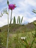 Chicharrão-de-torres (Lathyrus clymenum)