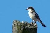Picanço-barreteiro /|\ Woodchat Shrike (Lanius senator)