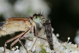 waterjuffer/damselfly