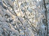 Snow_VineMaple.jpg