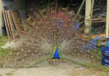 Junkyard peacock