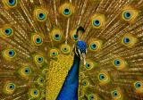 Showoff peacock