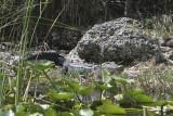 2yr old Gator
