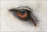 Samoyeds Eye